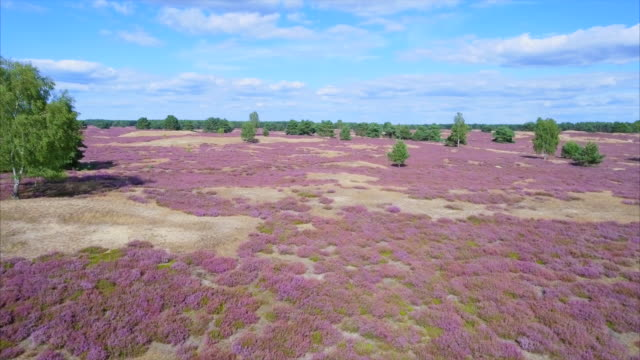 drone flight about heather in lower saxony / germany - air to air shot stock videos & royalty-free footage