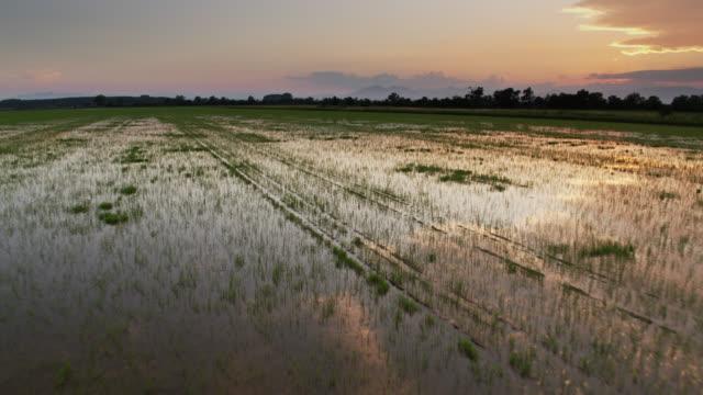 vídeos y material grabado en eventos de stock de vuelo de drones a través de arroz reflectante paddy - campo de arroz