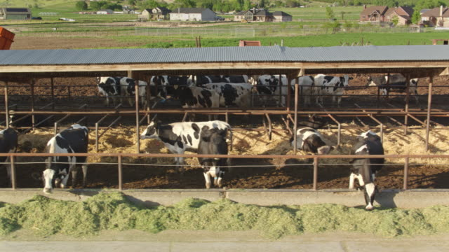 Drone Flight Along a Line of Cows in Dairy Farm