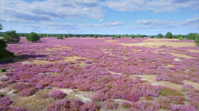 drone flight heather field in lower saxony / germany - air to air shot stock videos and b-roll footage