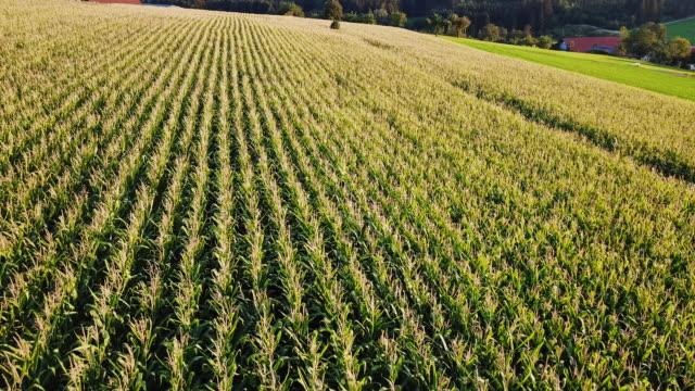 vídeos y material grabado en eventos de stock de drone flight over corn fields - trigo