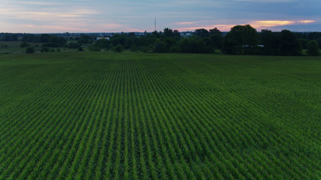 drone flight over corn growing in ohio at dawn - ohio stock videos & royalty-free footage