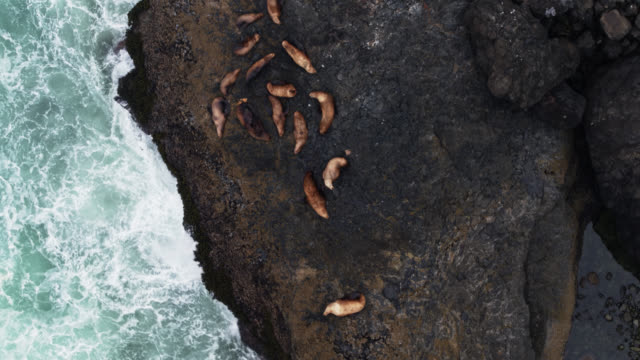 drone flight over harbor seals basking on the rocky oregon coast - harbour seal stock videos & royalty-free footage