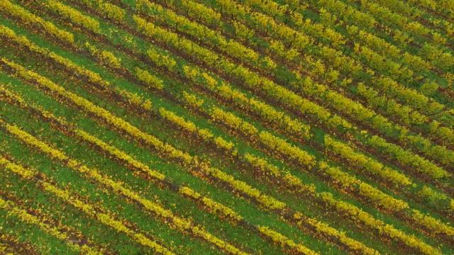 Drone flight over vineyard in autumn, Saar Valley near Wiltingen, Rhineland-Palatinate, Germany