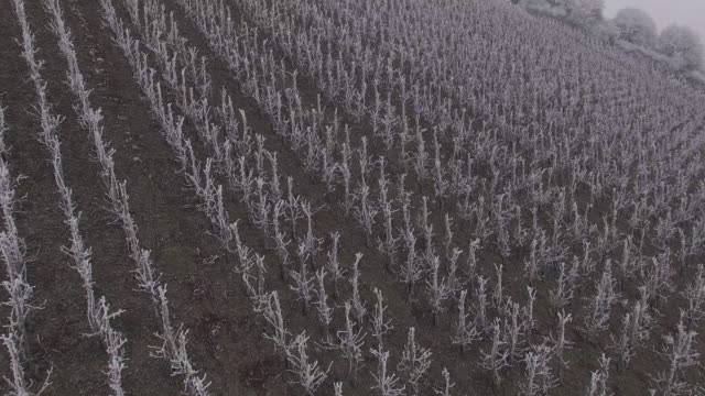 drone flight over vineyard with hoarfrost in winter, Saarburg, Saar Valley, Rhineland-Palatinate, Germany