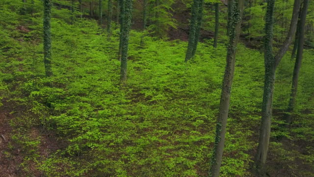 drone flight through beech forest in spring - beech tree stock videos and b-roll footage