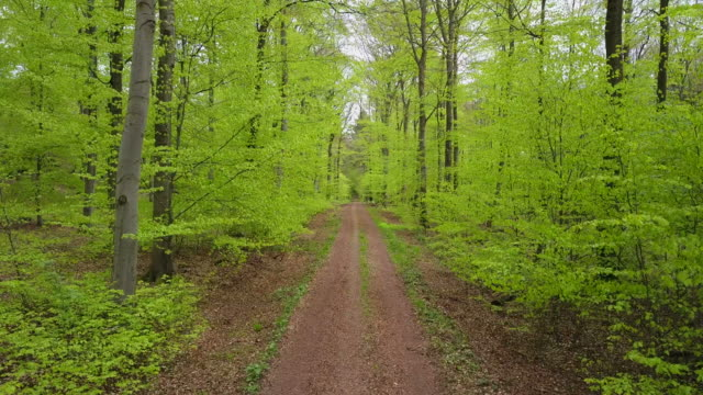 Drone flight through beech forest in spring