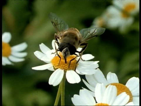 CU Drone Fly feeding on daisy, UK