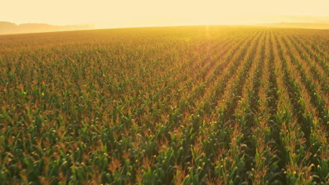 AERIAL Drone flying above corn field at sunrise