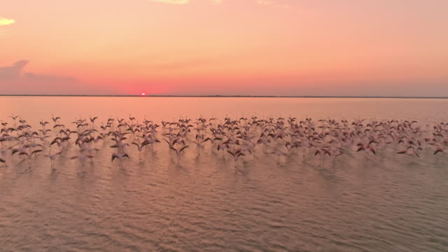 vídeos de stock e filmes b-roll de aerial drone flying among flock of flamingos at sunset - cube