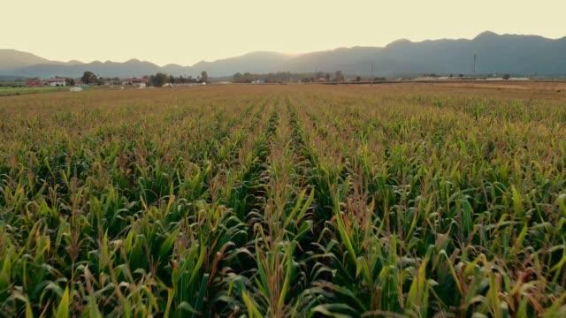 vídeos y material grabado en eventos de stock de drone volando directamente por encima del campo de maíz - inclinado hacia abajo