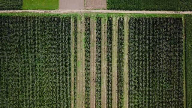 drone flyger högt över humle fältet - gröda bildbanksvideor och videomaterial från bakom kulisserna