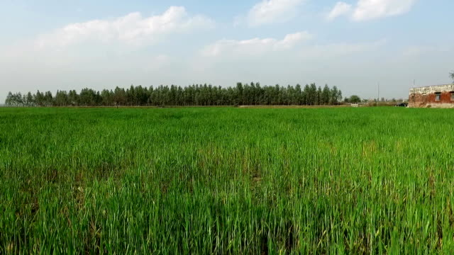 Drone flying in the field of wheat crop