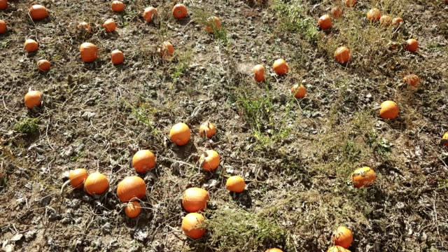 drone flying over autumn harvest of pumpkins - pumpkin stock videos & royalty-free footage
