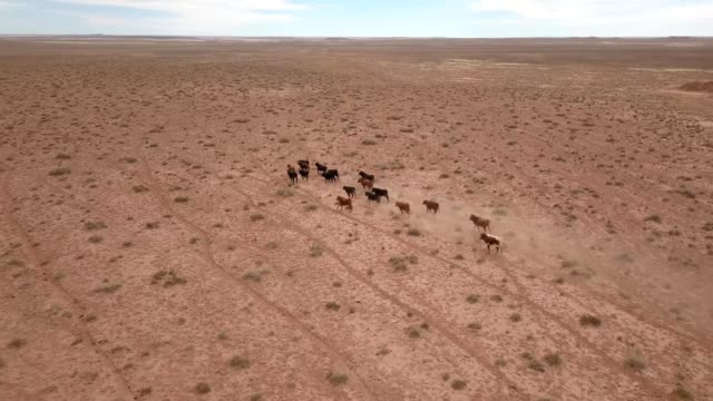 A Drone follows a herd of cattle being driven in the desert of Holbrook Arizona