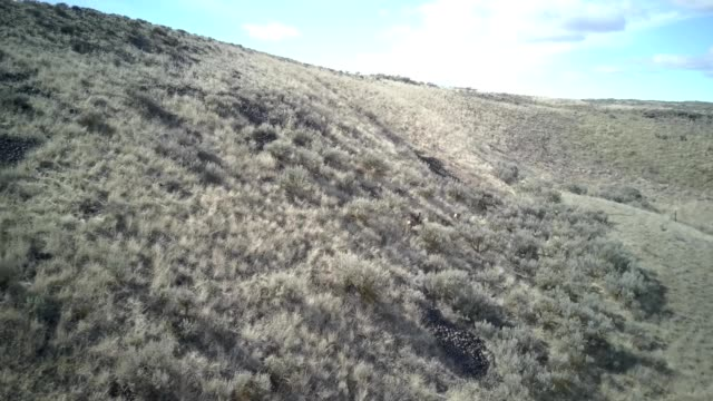 a drone follows two mule deer running near hartline washington - mule stock videos & royalty-free footage
