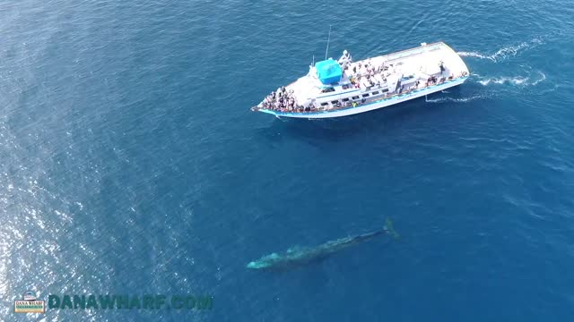 drone footage captures two fin whales taking a leisurely swim close to a whale watching tour in dana point, california, on february 4. tourists... - fin whale stock videos & royalty-free footage