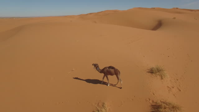 drone footage of camel walking on sand dune at erg chebbi - camel stock videos & royalty-free footage