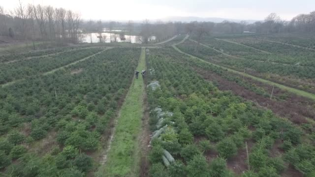 drone footage of christmas trees ready for harvest at santa fir christmas tree farm near guildford uk on monday dec 7 an inflatable santa claus... - guildford stock videos and b-roll footage