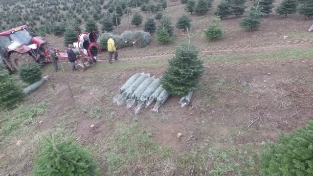 Drone footage of employees netting harvested trees at Santa Fir Christmas Tree Farm near Guildford UK on Monday Dec 7 2015