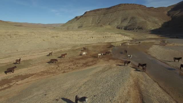 vidéos et rushes de drone footage of horses running on arid landscape - maroc