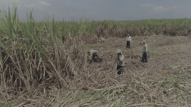 drone footage of sugar cane fields - indigenous culture stock videos & royalty-free footage