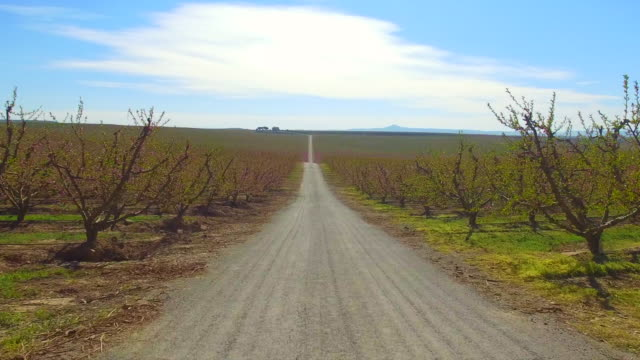 vidéos et rushes de drone footage recorded with drone flying over a long straight path between the peach blooming trees with pink colors in a stunning countryside landscape. - route de campagne