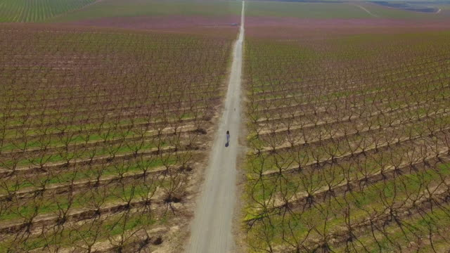 vídeos de stock, filmes e b-roll de drone footage recorded with drone of a woman walking through a long straight path between the peach blooming trees with pink colors in a stunning countryside landscape. 4k uhd. - 20 segundos ou mais