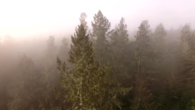 a drone orbits a fir tree in the early morning mist in forestville california - dronebase stock videos and b-roll footage