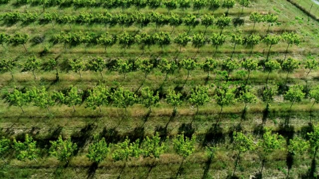 a drone orbits upwards on an apricot field in aromas california - apricot stock videos & royalty-free footage