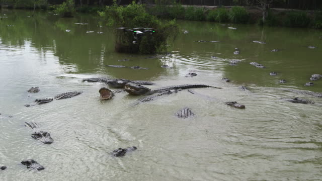 drone over alligators - wiese stock videos & royalty-free footage