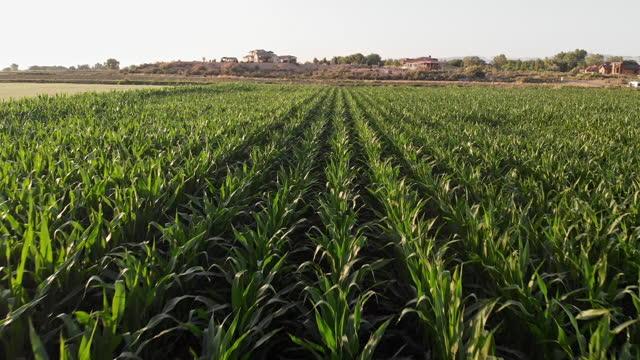 drone passing over a green cornfield at dusk near fruita, western colorado - abundance stock videos & royalty-free footage