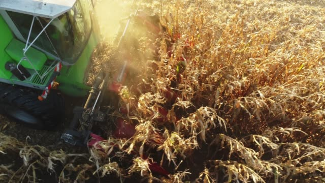 Drone point of view combine harvester harvesting corn crop in sunny,rural field,slow motion