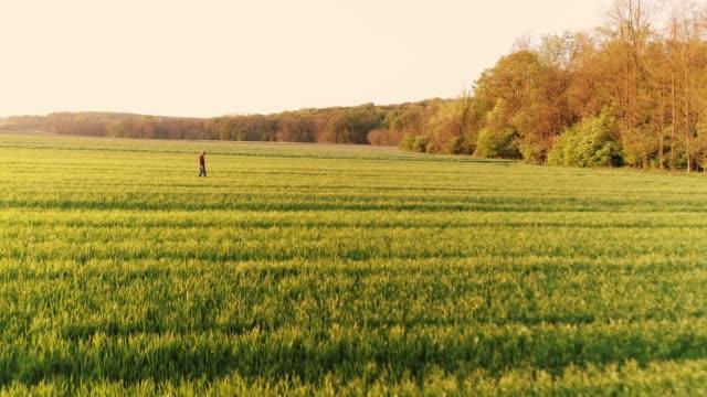 Agriculteur de point de vue de drone marchant dans le champ de blé vert vaste, ensoleillé, idyllique, slow motion