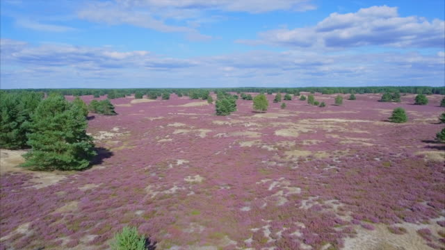 Drone Point of View of heather in Lower Saxony / Germany