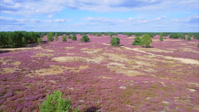 drone point of view of heather in lower saxony / germany - air to air shot stock videos & royalty-free footage
