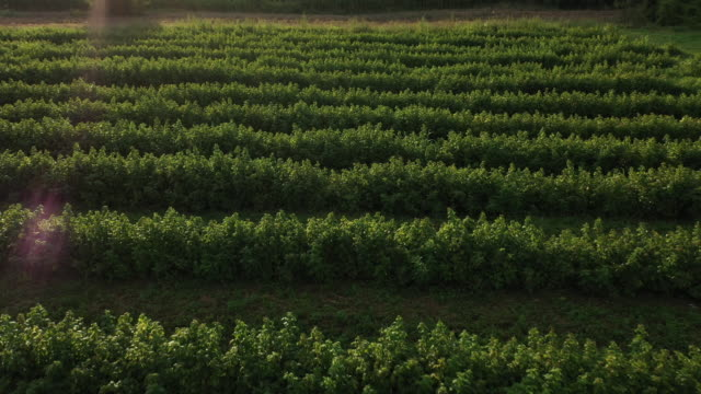 drone point of view of raspberry plantage on a summer day - order stock videos & royalty-free footage