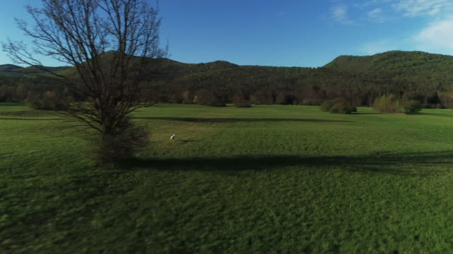 drone point of view on a white dog running freely on a large meadow - escaping stock videos & royalty-free footage