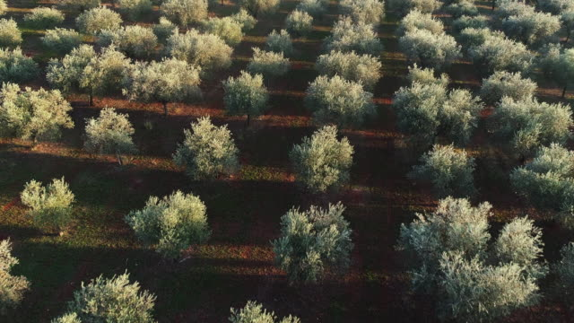 drone point of view on olive orchard in the morning - food and drink industry stock videos & royalty-free footage