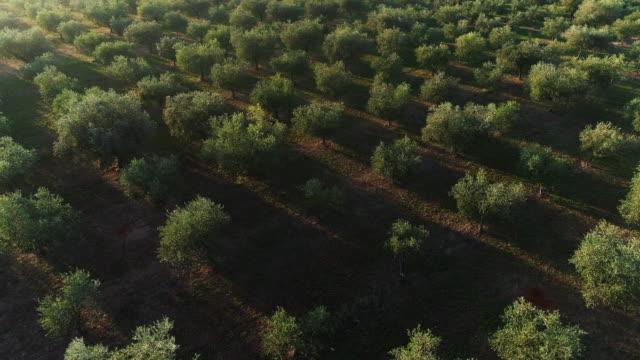 朝のオリーブ果樹園にドローンの視点 - オリーブ点の映像素材/bロール