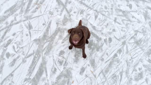 4K Drone point of view playful brown dog jumping at camera on ice, real time