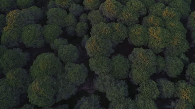 stockvideo's en b-roll-footage met drone shot flying directly over stone pine trees in the la breña y marismas del barbate natural park, cadiz, spain. - fysische geografie