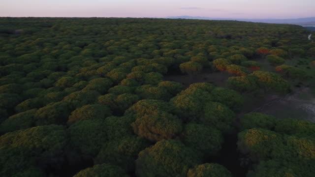drone shot flying over stone pine trees in the la breña y marismas del barbate natural park, cadiz, spain. - cádiz stock videos and b-roll footage
