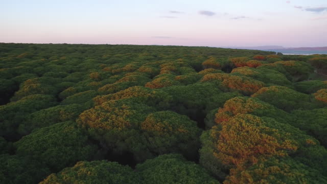 Drone shot flying over Stone pine trees in the La Breña y Marismas del Barbate Natural Park, Cadiz, Spain.