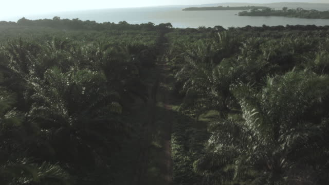 drone shot moving over a cultivated field of oil palms on bugala island. - palm leaf stock videos and b-roll footage