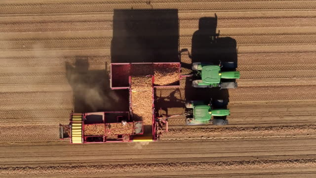 Drone shot of combine harvester collecting potatoes in field