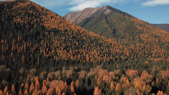 vídeos de stock e filmes b-roll de drone shot of mountains and evergreen forest with autumn colored leaves showing in tamarack trees. - pinhal