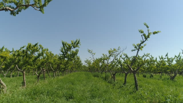 A Drone Shot of Rows of Young Peach Trees in an Orchard on a Sunny Day in Palisade, Colorado