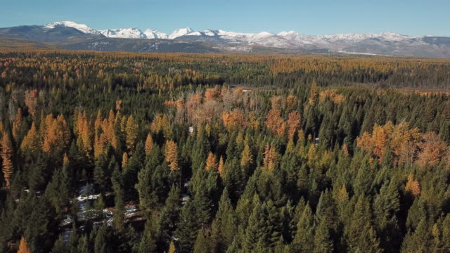 vídeos y material grabado en eventos de stock de drone shot of snow covered mountains and evergreen forest with autumn colored leaves showing in tamarack trees. - pinaceae