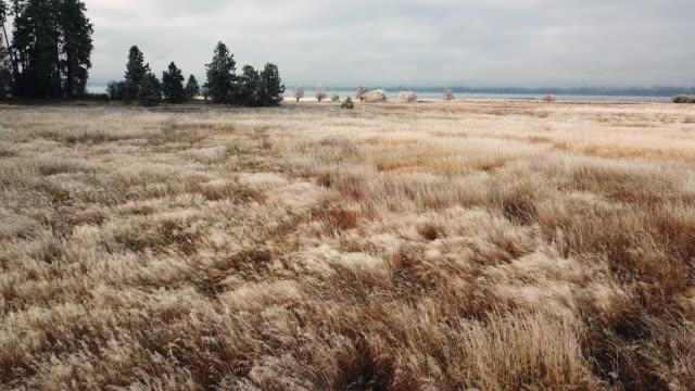 drone shot of tall prairie grass covered in hoar frost waving in wind along lake estuary shoreline at dawn. - flathead lake stock videos and b-roll footage